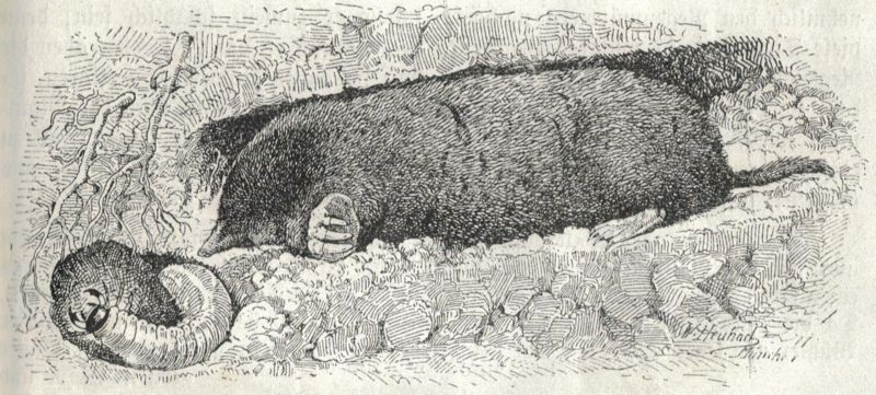 Zoological illustraction of European mole by Walter Heubach